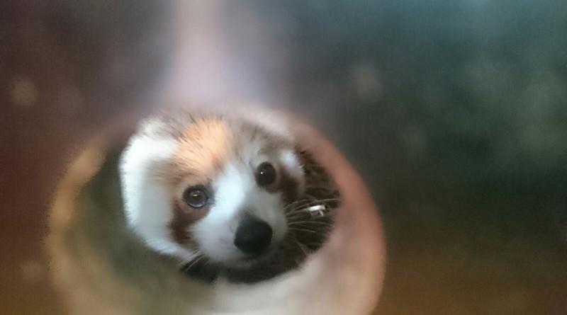 Sneak peek: super schattige rode panda