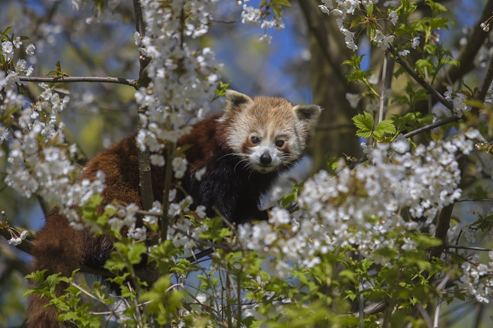 Rode-panda-GaiaZOO