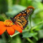 6 tips voor een prachtige vlindertuin